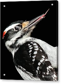 Acrylic Print featuring the photograph Tongue Of Woodpecker by Debbie Stahre