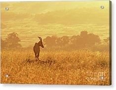 Topi In Early Morning Sunlight Acrylic Print