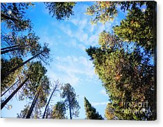 Acrylic Print featuring the photograph Towering Pines by Scott Kemper