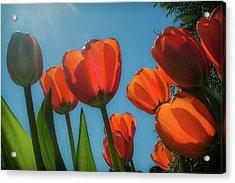 Towering Tulips Acrylic Print