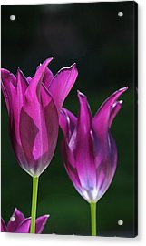Translucent Tulips Acrylic Print