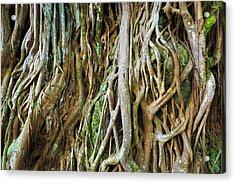 Tree Roots, Onomea Bay, Hamakua Coast Acrylic Print by Russ Bishop