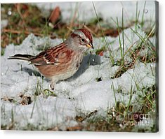Tree Sparrow In Snow Acrylic Print