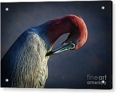 Acrylic Print featuring the photograph Tricolor Preening by Tom Claud