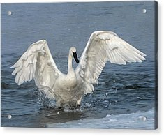 Acrylic Print featuring the photograph Trumpeter Swan Splash by Patti Deters