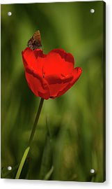 Tulip And Skipper Acrylic Print