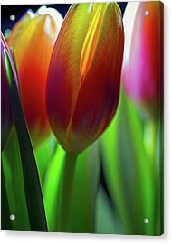 Acrylic Print featuring the photograph Tulips by John Rodrigues