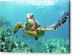 Turtle Acrylic Print by M Swiet Productions