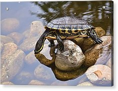 Turtle Drinking Water Acrylic Print