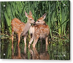 Twin Fawns Nuzzling Each Other In A Acrylic Print