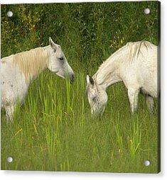 Two Arabian Mares Grazing In Tall Acrylic Print