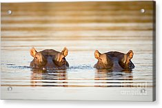 Two Common Hippopotamus In The Water At Acrylic Print
