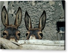 Two Donkeys Peering Over Fence, Close-up Acrylic Print