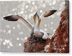 Two Gannets. Bird Landing On The Nest Acrylic Print