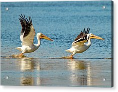 Two Pelicans Taking Off Acrylic Print