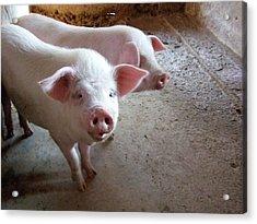 Two Pigs Acrylic Print by Shinichi.imanaka