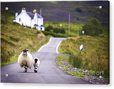 Two Sheep Walking On Street In Scotland Acrylic Print