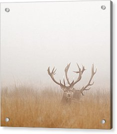 Two Stag Deer Resting In Field On Foggy Acrylic Print by Beholdingeye
