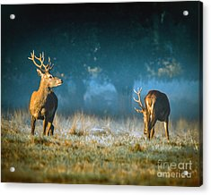 Two Stags Acrylic Print