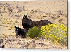 Two Wild Black Horses Among Yellow Flowers Acrylic Print