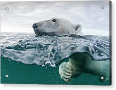 Underwater Polar Bear In Hudson Bay Acrylic Print