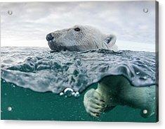 Underwater Polar Bear In Hudson Bay Acrylic Print by Paul Souders