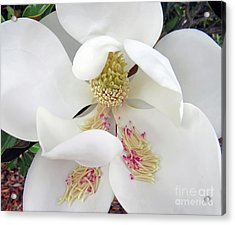 Unfolding Beauty Of Magnolia Acrylic Print