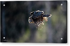 Ural Owl Flying Against The Light To Catch A Prey  Acrylic Print