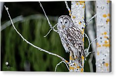 Ural Owl Perching On An Aspen Twig Acrylic Print