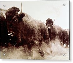 Usa, Colorado, Herd Of American Bison Acrylic Print