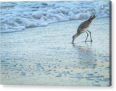 Usa, Florida A Willet Digs In The Sand Acrylic Print by Margaret Gaines