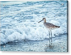 Usa, Florida A Willet, Tringa Acrylic Print by Margaret Gaines