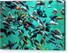 Various Multi-colored African Fish Acrylic Print by By Ken Ilio