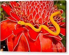 Venomous Yellow Eyelash Pit Viper On Acrylic Print