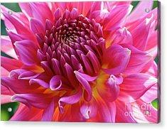 Vibrant Dahlia Acrylic Print