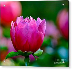 Vibrant Pink Peony Acrylic Print