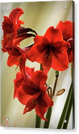 Vivid Red Amaryllis Bulb In Full Bloom Acrylic Print
