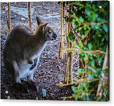 Wallaby Acrylic Print