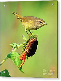 Acrylic Print featuring the photograph Warbler by Debbie Stahre