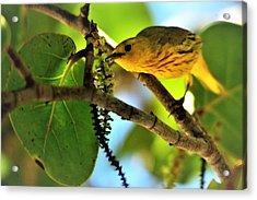 Warbler's Delight Acrylic Print