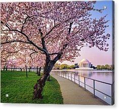 Washington Dc Cherry Trees, Footpath Acrylic Print by Dszc