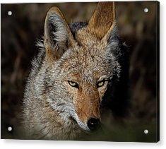 Watchful Eyes Acrylic Print