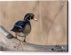 Watchful Wood Duck Acrylic Print
