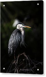 Watching And Waiting Acrylic Print