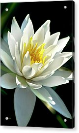 Acrylic Print featuring the photograph Water Lily by Christina Rollo