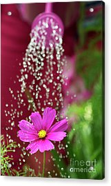 Watering A Cosmos Flower Acrylic Print by Tim Gainey