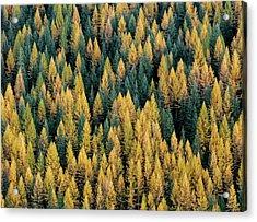 Western Larch Forest Acrylic Print