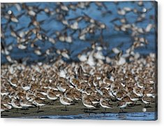 Western Sandpipers And Dunlins Acrylic Print
