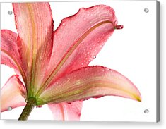 Wet Pink Lily From Below Against White Acrylic Print by Johan Swanepoel