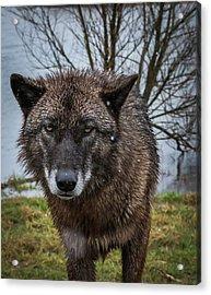 Wet Wolf Acrylic Print